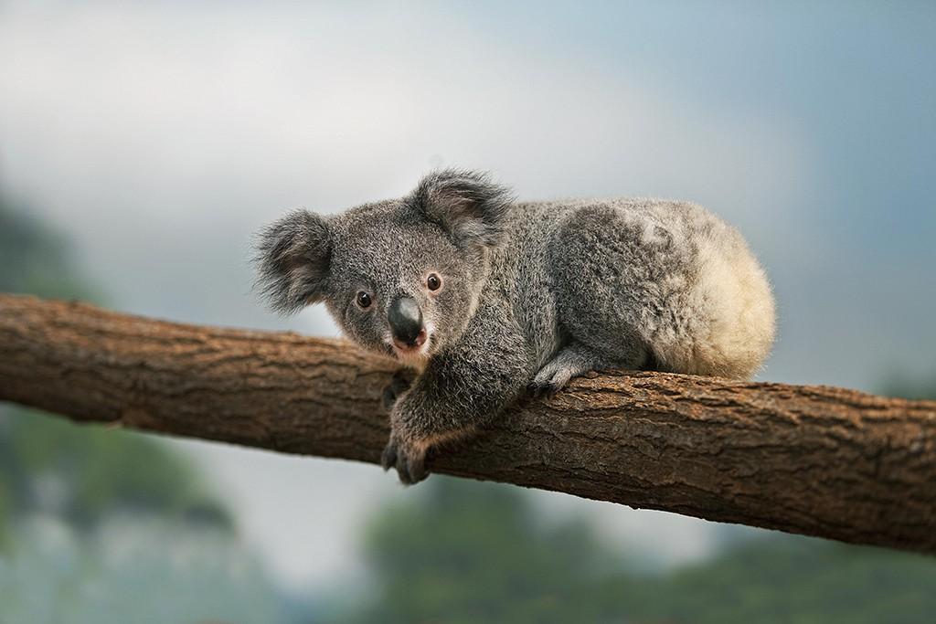 KOALA au zoo de beauval