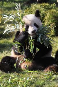 voir des pandas en France au zoo de beauval